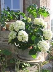 Hortensias en fleurs dans le jardin de nos chambres d'hôtes à Saint-Briac-sur-Mer