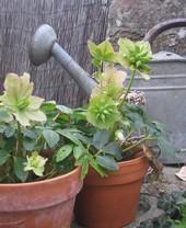 Les fleurs du jardin de notre maison d'hôtes à Saint-Briac-sur-Mer