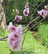 Branche de cerisier en fleurs du jardin de notre maison d'hôtes à Saint-Briac-sur-Mer